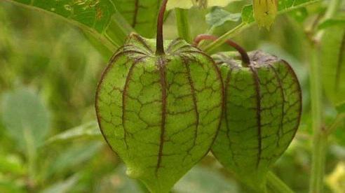 Đây là loại quả mà người Việt chỉ coi là cỏ dại, sang Nhật được tôn như 'thảo dược quý' chữa đủ thứ bệnh, bán giá 700k/kg vẫn cháy hàng