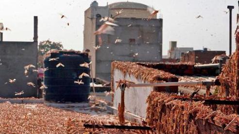 Ấn Độ xua đuổi và tiêu diệt hàng trăm triệu con châu chấu bằng 'đòn chí mạng' vào điểm yếu không ngờ