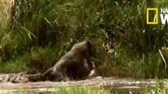 Báo đốm suýt mất mạng vì săn hụt cá sấu