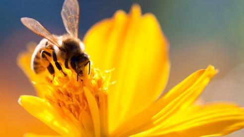 'Đặc quyền được chết' của ong đực: Bài học thấm thía cho con người từ thế giới khắc nghiệt của loài ong