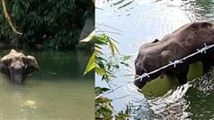 Xót xa hình ảnh voi mẹ đang mang thai chết đứng giữa sông sau khi ăn nhầm trái dứa mà dân làng nhét thuốc nổ bên trong