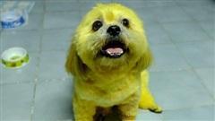 Bé cún bất đắc dĩ vào vai Cậu Vàng, hóa trang xuất sắc chỉ bằng thứ 'thuốc' nhuộm thần thánh hết sức quen thuộc này
