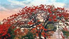 Hàng loạt cây phượng bị đốn hạ tại trường học: Khi biểu tượng mùa hè sụp đổ và nỗi buồn cho tuổi học trò