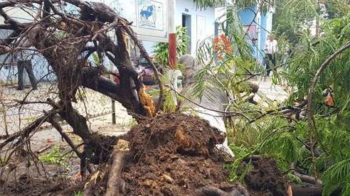 Phượng bật gốc trong sân trường ở Đồng Nai, 3 nữ sinh bị thương