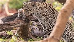 Báo đốm ranh mãnh tóm khỉ con bẫy khỉ mẹ: Kết buồn