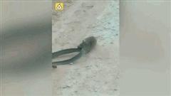 """Bị chuột tấn công, rắn """"khủng"""" quằn quại trên mặt đất"""