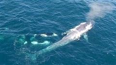 Cá voi sát thủ hợp sức tấn công cá voi xanh