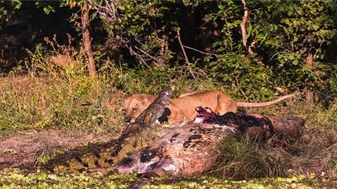 Đói ăn, cá sấu quyết chiến sư tử giành xác hà mã