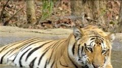 Ấn Độ phạt 'án chung thân' hổ ăn thịt người