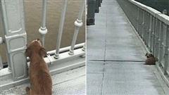 Chứng kiến chủ nhảy sông tự vẫn, chú chó trung thành tuyệt thực ngồi trên cầu ngóng trông mãi không chịu đi