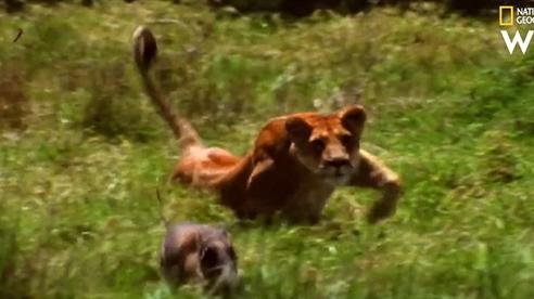 Sư tử ranh mãnh nằm chờ lợn rừng tự nộp mạng