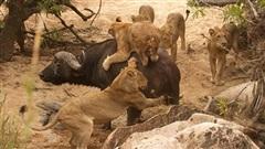 Trâu già tử chiến bầy sư tử: Kẻ săn mồi hụt hẫng