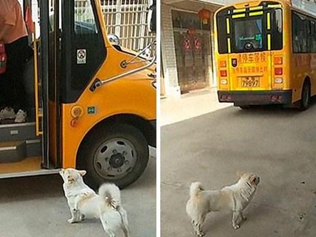 Chú chó nhỏ cần mẫn đưa đón cô chủ đi học khiến người xem xúc động