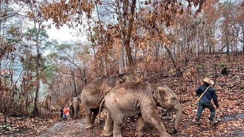 'Thất nghiệp' vì Covid-19, hàng ngàn chú voi Thái Lan đi bộ về quê