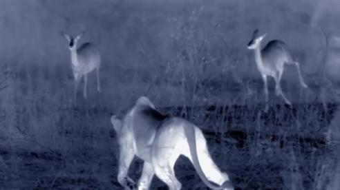 Sư tử nhìn xuyên đêm khi bắt linh dương