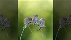 Đàn chuột tí hon chen chân đánh đu trên cành lúa mạch