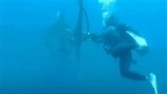 Cá mập voi kẹt đuôi 'cầu cứu' thợ lặn