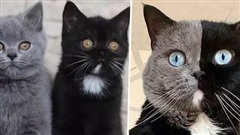 Hậu duệ của chú mèo mặt hai màu nổi tiếng khắp thế giới gây bão mạng