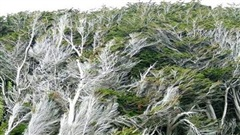 Vùng đất ở New Zealand nổi tiếng sở hữu loạt cây nghiêng ngả hình thù lạ kỳ