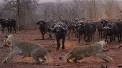 Đôi sư tử non háu thắng bị đàn trâu rừng 'dạy dỗ'