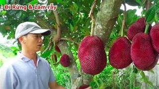Thực hư về quả mít vỏ đỏ 'độc nhất vô nhị' tại Việt Nam đang khiến cộng đồng mạng tranh cãi: Lẽ nào lại là chiêu trò 'câu view'?