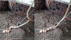 Đột nhập chuồng gà bị bắt, rắn hổ mang đành nôn trả 5 quả trứng