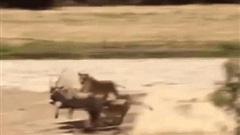 Phút trước đuổi theo linh dương, phút sau sư tử đã bị con mồi đuổi ngược lại