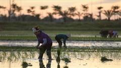 Nông dân đeo đèn pin cấy lúa trong đêm tránh nắng nóng ở Hà Nội