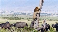 Bị đàn trâu truy sát, sư tử sợ hãi, vội trèo lên cây trốn, biểu cảm khiến cộng đồng mạng không khỏi cười vì sự ngược đời