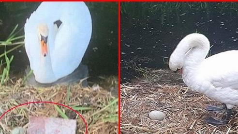 Chứng kiến tổ trứng bị vỡ nát còn bạn tình thì bỏ đi, thiên nga mẹ gục chết trong uất ức