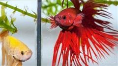 'Chiêu thức' giao đấu của cá chọi có thể cho thấy mối quan hệ giữa gen và hành vi tương tác