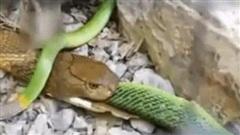 Rắn lục đuôi đỏ cực độc cũng tử nạn khi đối đầu hổ mang chúa
