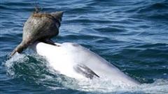 Bí kíp lợi hại giúp cá heo trở thành thợ săn sát thủ đại dương