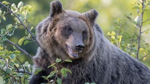 Hi hữu: Kết án tử hình con gấu nâu tấn công hai cha con người Ý