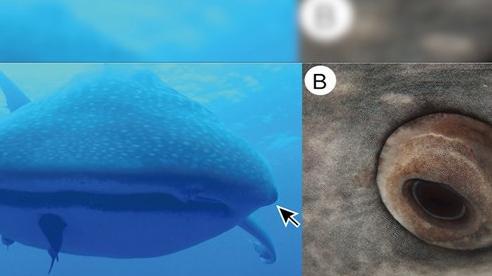 Phát hiện ra loài vật có răng mọc trên mắt