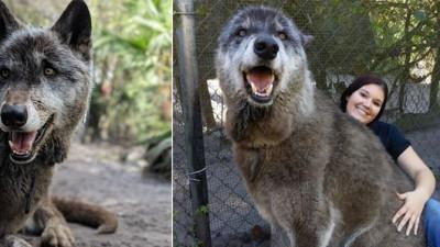 Kích thước khổng lồ của sinh vật lai giữa sói xám, chó chăn cừu Đức và Husky Siberia