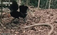 Gà mẹ hùng dũng phản công trăn khổng lồ để bảo vệ đàn con