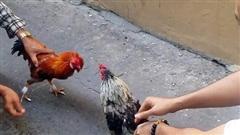 Chồng ham đá gà, vợ 'một nách 2 con' phải bán vàng cưới trả nợ
