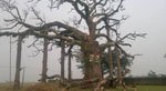 Chuyện ly kỳ về cây thiêng giết người bị chết