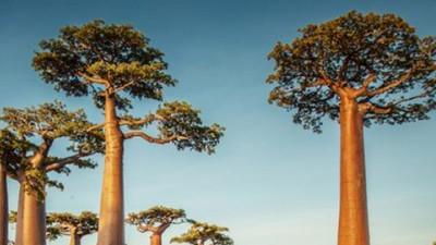 Mục sở thị những cây bao báp khổng lồ 800 tuổi