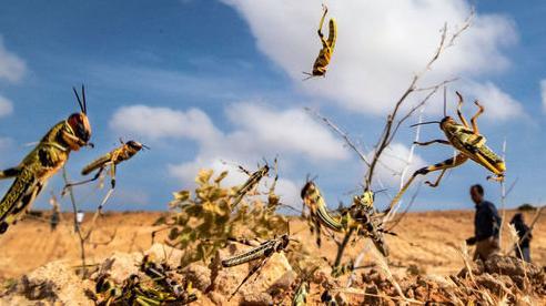 Biến châu chấu thành món ăn để xóa nạn tàn phá mùa màng