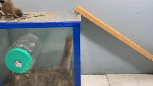 'Vòng xoay tử thần' từ hộp nhựa bỏ đi khiến chuột hết đường chạy thoát