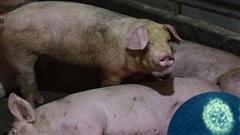 Những sự thật đáng sợ về dịch cúm lợn chủng mới tại Trung Quốc: Virus mang sự kết hợp hủy diệt, chưa có bất kỳ miễn dịch nào tồn tại