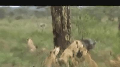 """Bị """"500 anh em"""" trâu rừng rầm rầm lao đến giải cứu đồng loại, sư tử sợ hãi """"bỏ của chạy lấy người"""""""