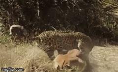 Bị báo mai hoa cắn ngay giữa mặt, linh dương Impala tử nạn trong tích tắc