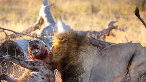Linh cẩu bị sư tử vờn và cắn cổ họng đến thoi thóp