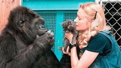 Được 1 hộp quà, phản ứng của khỉ đột thông minh nhất thế giới khiến ai cũng 'tan chảy'