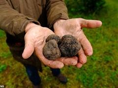Nông dân Anh 'đứt ruột' tặng miễn phí 'nấm kim cương' vì dịch COVID-19