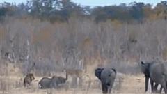 Clip: Nằm chờ chết dưới hàm sư tử, voi con được cả bầy hỏa tốc tới giải cứu