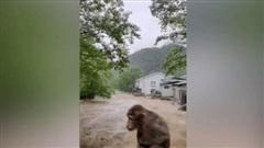 Dân mạng Trung Quốc xót thương chú khỉ bị kẹt giữa dòng lũ